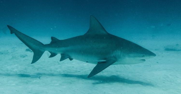 photo-requin-bouledogue-playa-del-carmen2